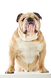 Cute English Bulldog dog staying with front feet on white table