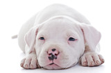 American Staffordshire Terrier dog puppy
