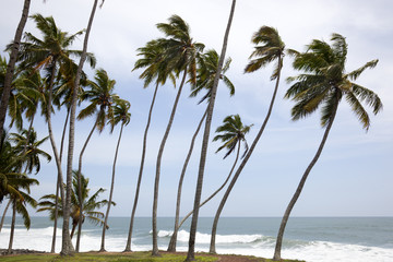 andscape with palm trunks bent on the coast of Varkala