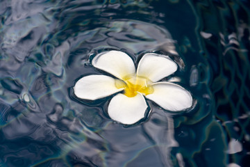 Plumeria on water surface