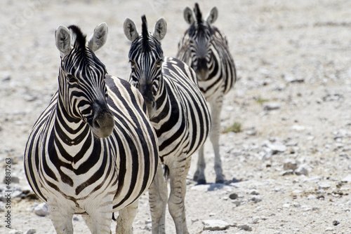 Fototapeten,zebra,drei,wildlife,tier