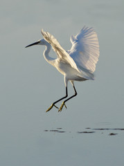 white heron dancing on lake surface at sunrise