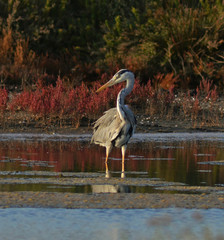 heron fishing in marsh at sunset