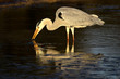 Grey heron (Ardea cinerea) in water