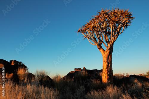 canvas print picture Quiver tree landscape