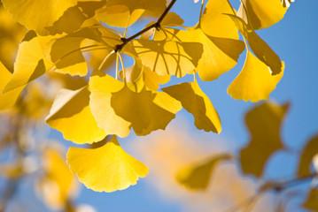 銀杏の紅葉と青空