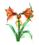 Watercolor -Amaryllis-