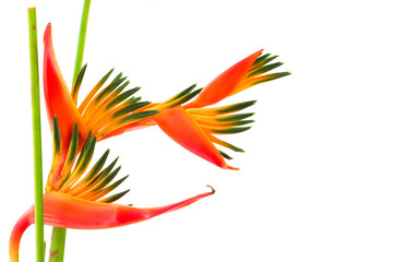 Bird of paradise, a tropical flower, isolated .