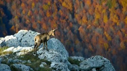 Abruzzo Camoscio
