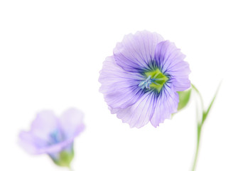 Blue Flax Flowers on White Background with Copy Space