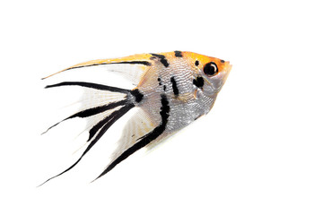 Angelfish (Pterophyllum scalare) in profile isolated on white