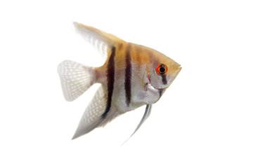 Angelfish (Pterophyllum scalare) in profile isolated on white