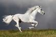 White horse runs on the dark sky background