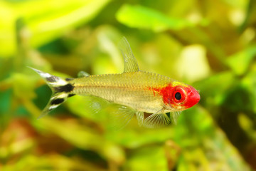 Rummynose Tetra fish