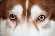 dog eyes close up