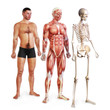 Male illustration of skin, muscle and skeletal systems
