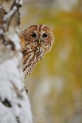 Courious tawny owl