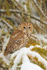 Tawny owl in winter