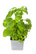 potted basil plant