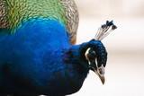 Fototapeta portret - pióro - Ptak