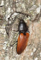 Rusty click beetle, Elater ferrugineus on oak, macro photo,