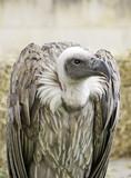 Scavenger Vulture poster