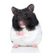 Hamster sits on white background