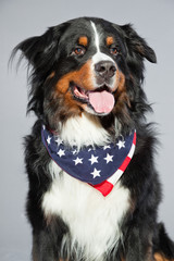 Cute berner sennen dog against grey background. Studio shot.