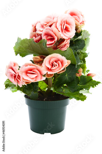 Beautiful flowers begonia in a flower pot.