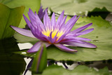 violet water lily flower head