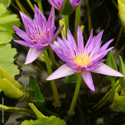 clustor of violet water lilies