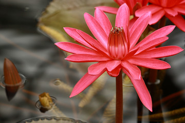 blooming red water lily