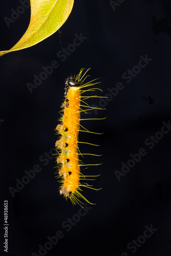 Hanging caterpillar