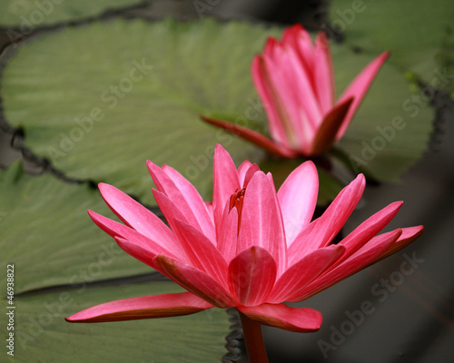 two red water lily flower heads
