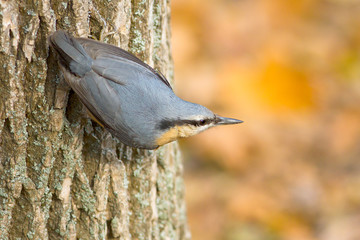 nuthatch (Sitta europaea) upside-down on a log