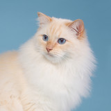 Ragdoll with blue background
