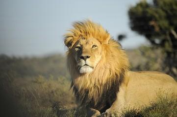 Leone il re della natura