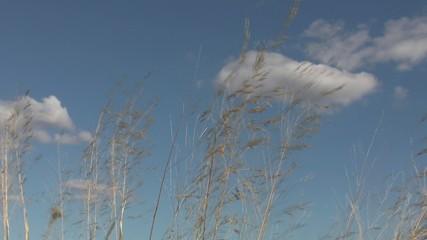 trockene grasshalme vor blauem himmel