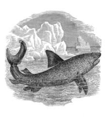 Shark - Haifisch - Requin Pelerin