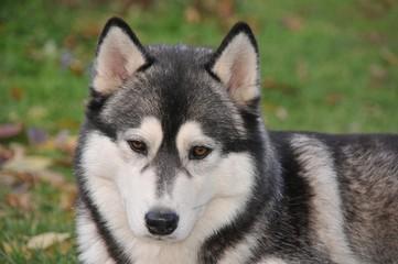 Siberian Husky, Hündin
