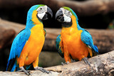 Couple blue-and-yellow macaws (Ara ararauna) - 46957295