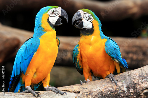 Foto op Canvas Papegaai Couple blue-and-yellow macaws (Ara ararauna)