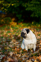 Pug dog sitting amongst autumn leaves
