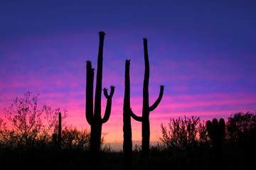 Tall saguaro cactus plants against evening sky