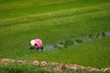 Worker planting rice on a wet paddy field in Vietnam
