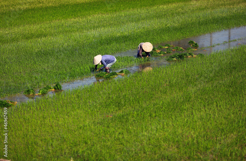 Paddy field and wet rice planting in Vietnam