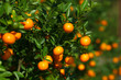 Tangerines growing on the bush in the fruit orchard