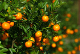 Fototapety Tangerines growing on the bush in the fruit orchard