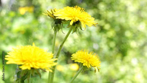 Yellow dandelion rising above field. Full HD.