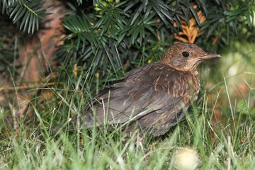 Blackbird (Turdus merula) in the grass. A young female.